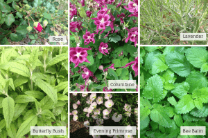columbine, rose, bee balm, lavender, butterfly bush, evening primrose
